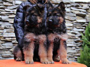 Немецкая овчарка — щенки, кобели и