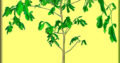 Баобаб (Adansonia digitata) 12,5 лет.
