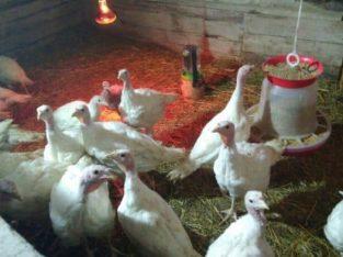 Инкубационные яйца разных видов птицы (кури, утки, гуси, индюки) из Венгрии.