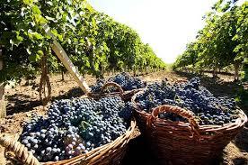 Работа на виноградники Франции