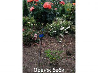 Розы штамбовые в ассортименте, оптом и в розницу, высылаем по Украине